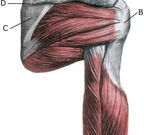 Shoulder